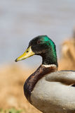 Drake Mallard duck close up Royalty Free Stock Photo