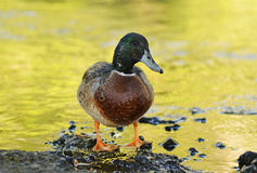 Drake Mallard duck close-up standing beside golden pond. A beautiful image with a very detailed close-up view of a colorful drake Mallard breed duck Stock Image