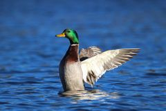 Drake Mallard Duck Flap. A male mallard duck flapping his wings while swimming on a lake Stock Image