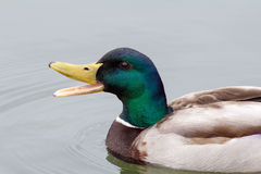 Drake Mallard Duck masculino fotos de archivo