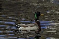 Drake Mallard Duck med himmelreflexioner royaltyfri bild