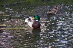 Drake mallard duck on river Stock Image