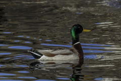 Drake Mallard Duck with sky reflections. Floating Mallard drake with iridescent green head surrounded by blue sky reflections Royalty Free Stock Image