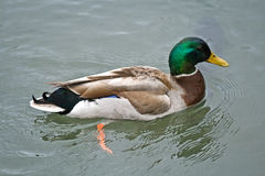 Drake Mallard Duck Swimming at the Local City Park. Brightly-colored drake mallard duck (Anas platyrhynchos) swimming in clear water at the local city park Royalty Free Stock Images