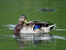 Drake Mallard Duck Waterfowl. Swimming Stock Photo