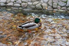 Drake Mallard Duck Wild Duck, swimming on a pond in transparen. T water with autumn leaves royalty free stock images