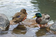 Mallard Ducks Drake. A drake Mallard ducks close up,California Royalty Free Stock Photos