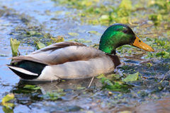 Drake mallard feeding in duck weed Royalty Free Stock Images