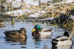 Drake and mallard female winter near open water on a frozen river. Anas platyrhynchos Royalty Free Stock Images
