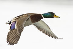Mallard Duck. Drake Mallard in flight on a cold winter day Royalty Free Stock Images