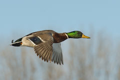 Drake Mallard. Flying Drake Mallard on a cold winter day Royalty Free Stock Photography