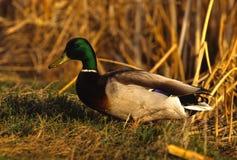 Drake Mallard in Grass Stock Photography