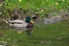 Drake mallard kaczka na rzece Obrazy Royalty Free