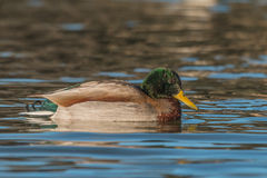 Drake Mallard on Lake Stock Photo