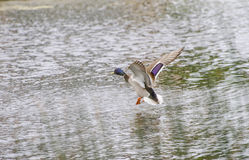 Drake Mallard Landing flight. Drake Mallard Landing on water Stock Photography