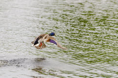 Drake Mallard Landing flight. Drake Mallard Landing on water Stock Image