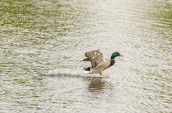 Drake Mallard Landing flight. Drake Mallard Landing on water Stock Photos
