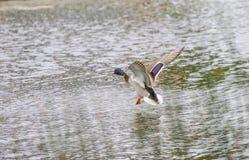 Drake Mallard Landing flyg Arkivbild