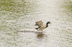 Drake Mallard Landing flyg Arkivfoton