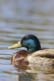 Drake Mallard Portrait Stock Images
