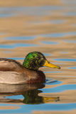 Drake Mallard Portrait Stock Photography