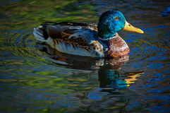 Drake Mallard Portrait in water. Drake mallard duck is swimming in the park pond Royalty Free Stock Image
