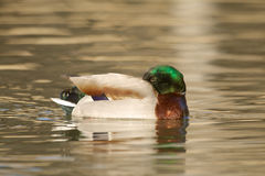 Drake Mallard Resting. A drake mallard resting on a lake Royalty Free Stock Photo