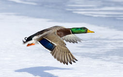 Drake Mallard with Shadow. Low Flying drake Mallard over snow covered pond Royalty Free Stock Image