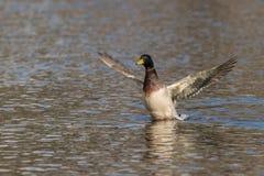 Drake Mallard Stretching Wings Imagens de Stock