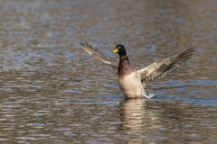 Drake Mallard Stretching Wings. A drake mallard stretching his wings on a lake Stock Images