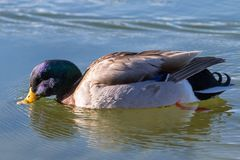 Drake Mallard Swimming on Lake. A drake mallard reflected on a lake Royalty Free Stock Image