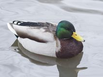 Drake mallard swimming in water closeup portrait with reflection, selective focus, shallow DOF Royalty Free Stock Image
