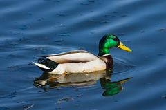 Drake mallard swimming in water closeup portrait with reflection, selective focus, shallow DOF.  Royalty Free Stock Images