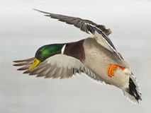 Landing Mallard Drake. Drake Mallard about to land on a cold winter day Stock Images