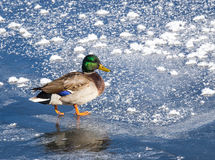 Drake Mallard. A drake mallard walks on ice Stock Photography