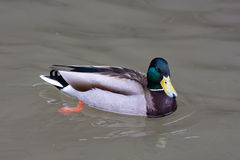Drake of mallard on the water Stock Photography