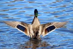 Drake Mallard Wings Fotografia Stock Libera da Diritti