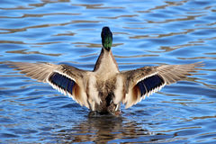 Drake Mallard Wings Royalty Free Stock Photography