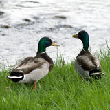 Drake Mallards Royalty Free Stock Photo