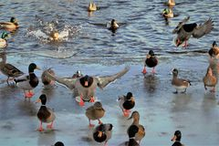 Drake Mallards ląduje na lodowatym stawie Zdjęcia Stock