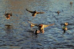 Drake Mallards landing on an icy pond. In Boise Idaho in January Stock Photo