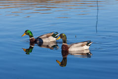 Drake Mallards Swimming. A pair of drake mallard swimming on a lake Stock Image