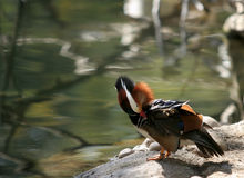 Drake Mandarin Duck Stock Photo