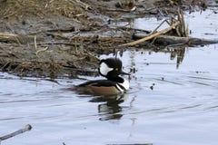 Drake Merganser Duck Royaltyfri Bild
