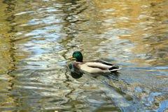 Drake nageant hardiment dans l'eau image stock