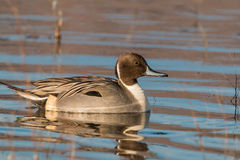 Drake Pintail Duck Stock Photo