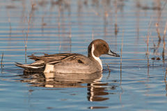 Drake Pintail Stock Photography