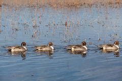 Drake Pintail Ducks Royalty Free Stock Image