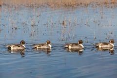 Drake Pintail Ducks Royalty Free Stock Image