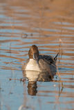Drake Pintail Head On Stock Image